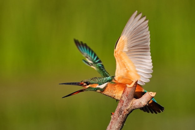 Kingfisher sitting on a stick with wings spread in nature