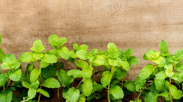Kitchen mint or marsh mint green leaves on an old wood background.