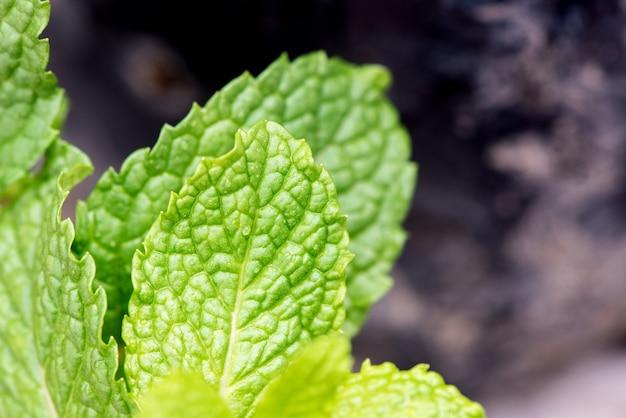 自然の背景にキッチンミント、マーシュミントまたはメリッサオフィシナリス緑の葉。