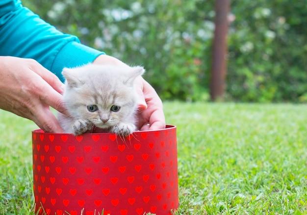 Kitten british in gift box on green grass gift