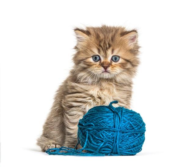 새끼 고양이 영국 상아탑에 틀어 박힌 고양이와 양모의 파란색 공