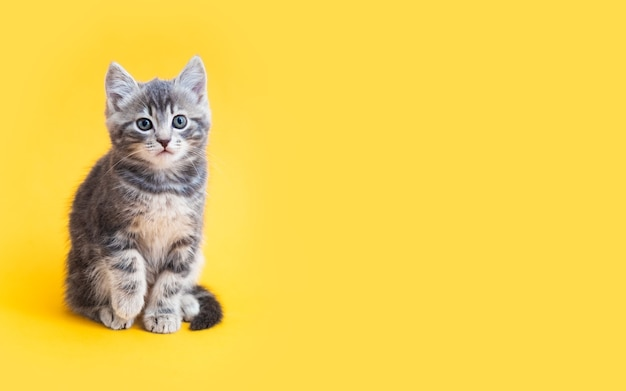Kitten on color yellow background with copy space. gray small tabby cat isolated on yellow background.
