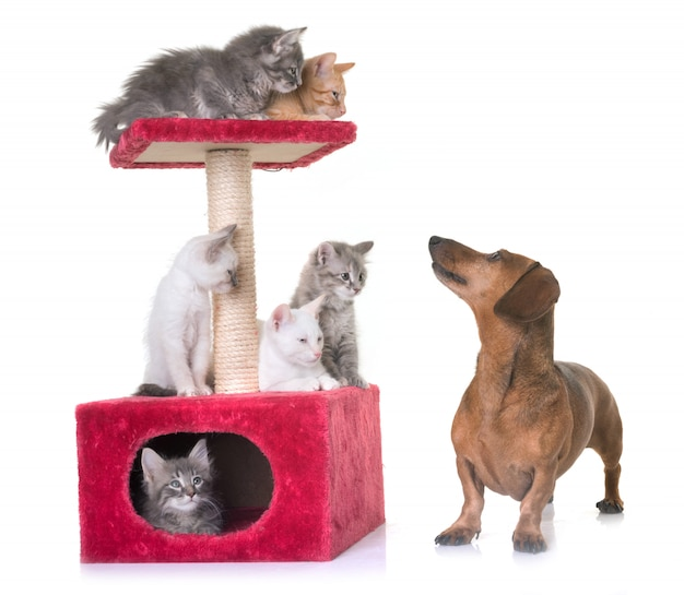 Kitten and dachshund
