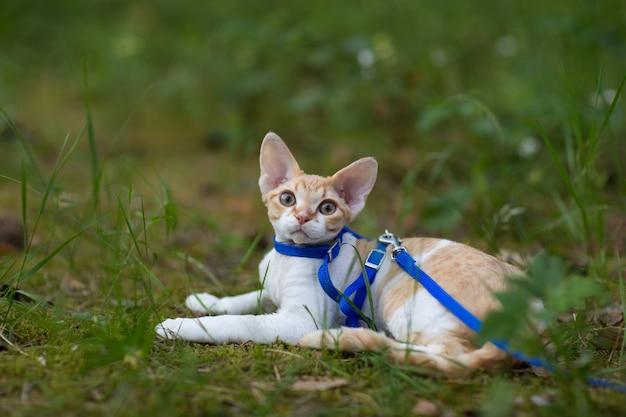 子猫デボンレックスは牧草地にあります