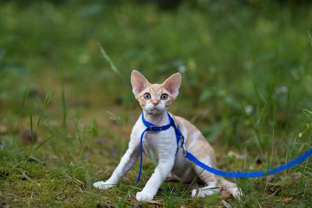 公園を散歩するための白と赤の子猫デボンレックス Premium写真