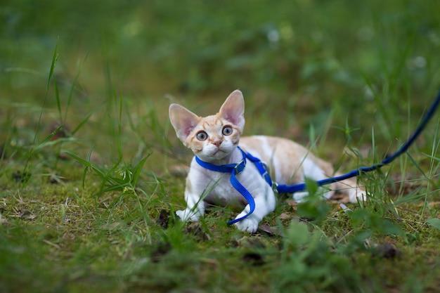 森の中を散歩するための白と赤の子猫デボンレックス
