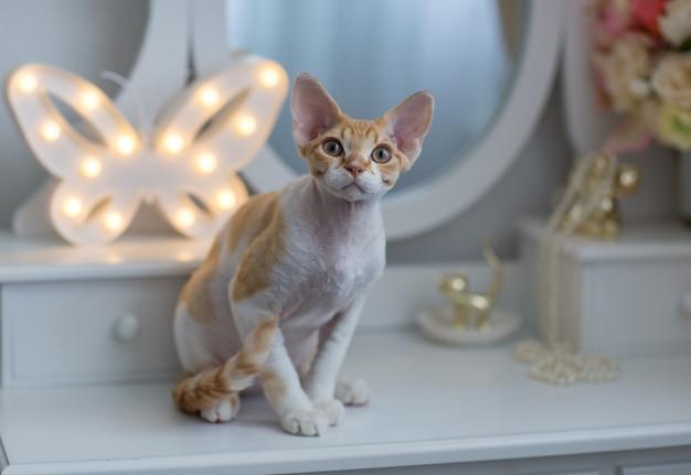 桟橋のガラスの上に座っている白と子猫デボンレックス赤