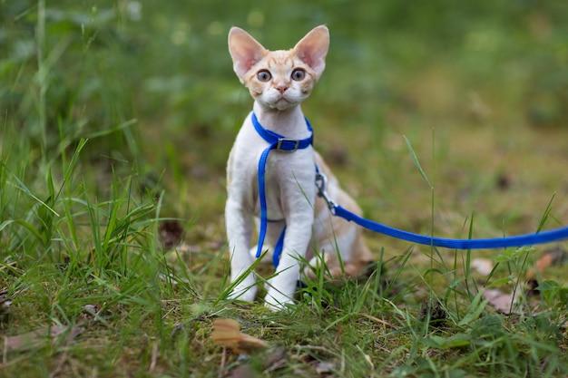 子猫デボンレックスは牧草地の森に座っています