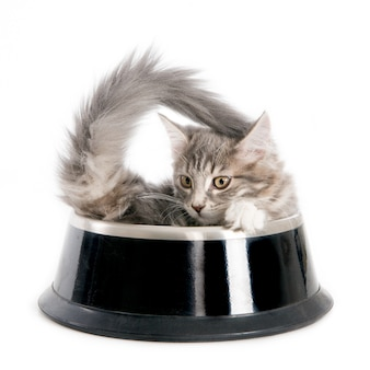 Kitten in a dog's food bowl. on white.