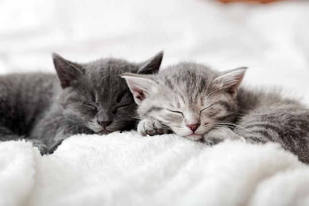 愛の肖像画の子猫の家族。バレンタインデーのペットの愛のための愛らしい子猫の鼻。カップルの幸せな子猫は一緒にリラックスして眠ります。快適に眠っている居心地の良い家畜は、甘い夢を持っています。