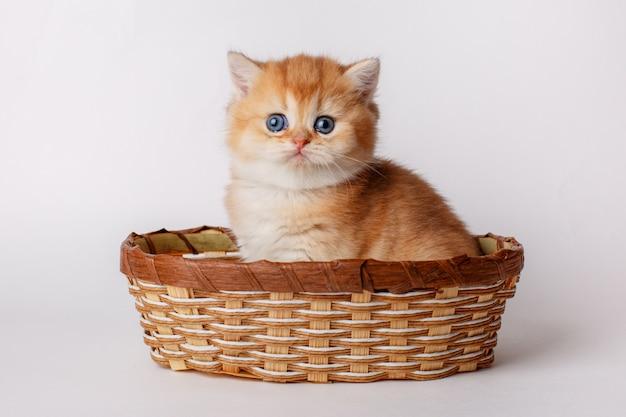 Kitten golden chinchilla british in a basket