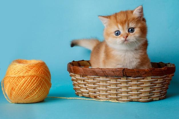 ボールと青色の背景に子猫ゴールデンチンチライギリス