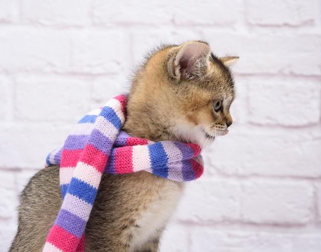 子猫の金色のカチカチ音をたてるイギリスのチンチラを白い背景にまっすぐに。猫はニットのスカーフに立っています