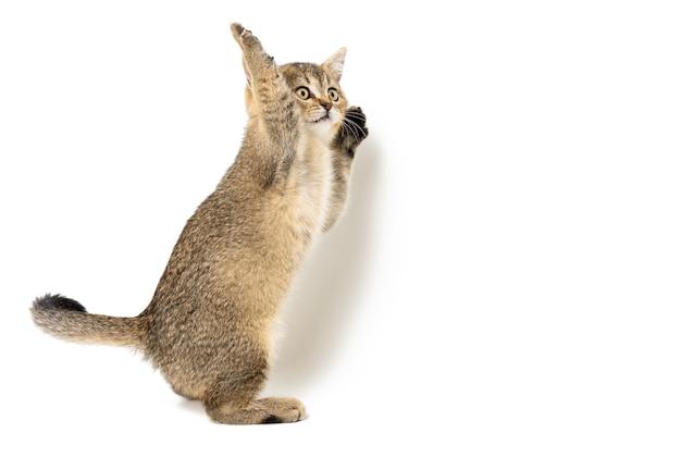 子猫の金色のカチカチ音をたてるイギリスのチンチラは、白い孤立した背景にまっすぐに。猫は後ろ足で立ち、前足2本を上げます