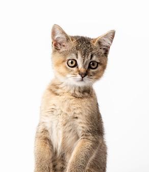 子猫の金色のカチカチ音をたてるイギリスのチンチラが正面にまっすぐ座っています。カメラを見ている猫