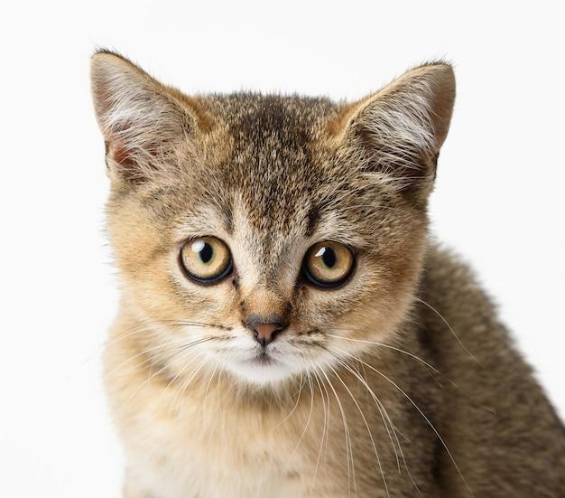 子猫の金色のカチカチ音をたてるイギリスのチンチラは、白い背景の前にまっすぐ座っています。カメラを見ている猫