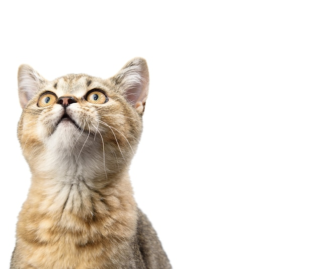 子猫の金色のカチカチ音をたてるイギリスのチンチラは、白い背景の前にまっすぐ座っています。猫が見上げる