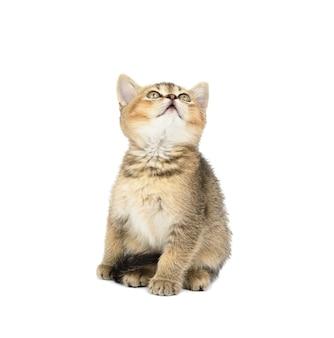子猫の金色のカチカチ音をたてるイギリスのチンチラは、白い孤立した背景の前にまっすぐ座っています。猫が見上げる