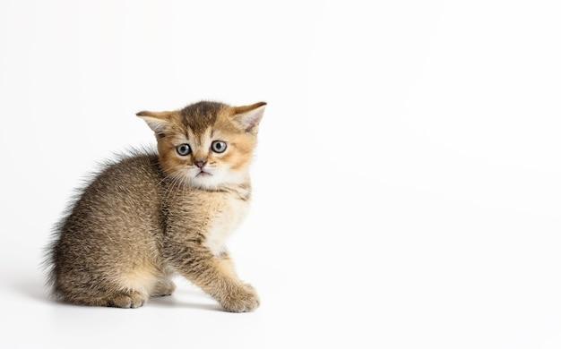 子猫の金色のカチカチ音をたてるイギリスのチンチラは、白い背景の上にまっすぐ座っています。カメラを見ている猫、コピースペース