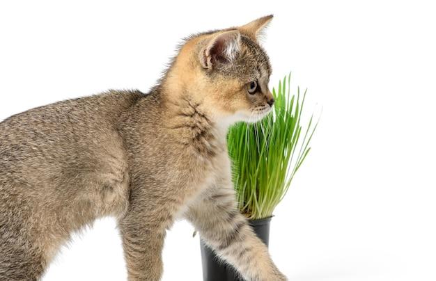 子猫の金色のカチカチ音をたてるイギリスのチンチラはまっすぐ白い背景の上に、成長する緑の草の鍋の隣に座っています