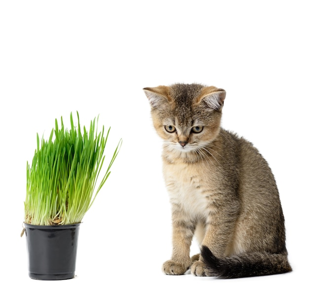 Kitten golden ticked british chinchilla straight sits on a white background, next to a pot of growing green grass