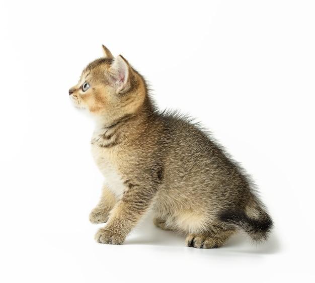 Kitten golden ticked british chinchilla straight sits on a white