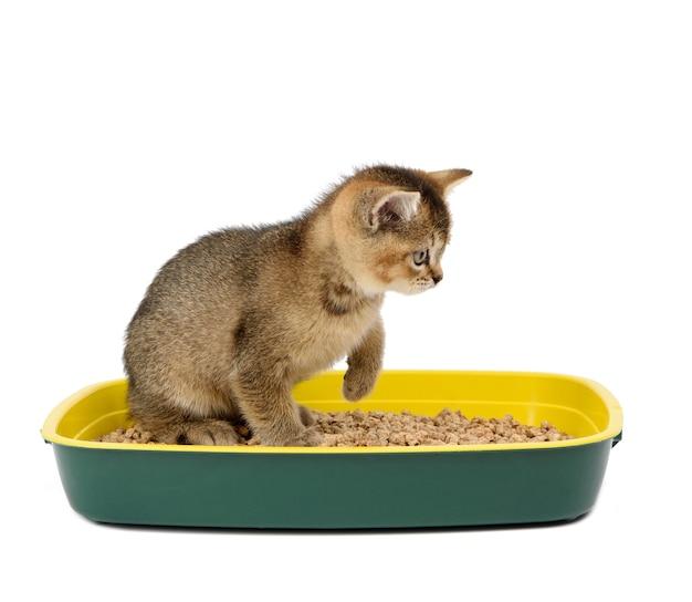 おがくずとプラスチックのトイレにまっすぐ座っている子猫の金色のカチカチ音をたてるイギリスのチンチラ。白い背景で隔離の動物