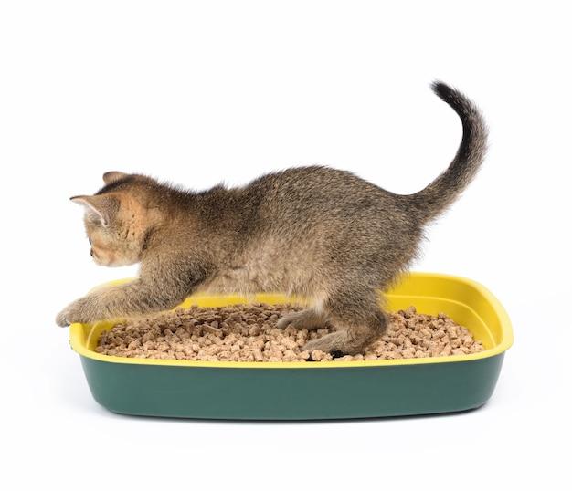 おがくずとプラスチックのトイレにまっすぐ座っている子猫の金色のカチカチ音をたてるイギリスのチンチラ。白い背景の上の動物