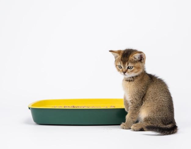 おがくずのあるプラスチック製トイレの隣にまっすぐ座っている子猫の金色のカチカチ音をたてるイギリスのチンチラ。白い背景の上の動物