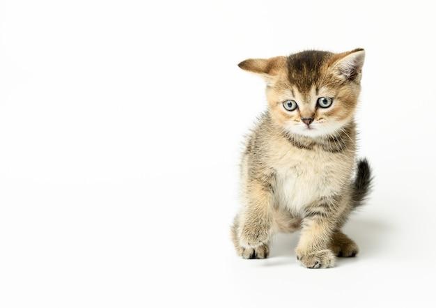 子猫の金色のカチカチ音をたてるスコットランドのチンチラストレート。猫は白い背景の上を歩く、スペースをコピー