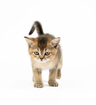 子猫の金色のカチカチ音をたてるスコットランドのチンチラストレート。猫は白い背景の上を歩く