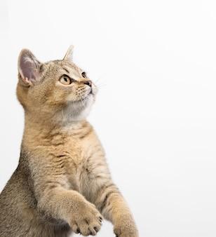 Котенок шотландской шиншиллы с золотыми тиками прямо сидит, крупным планом