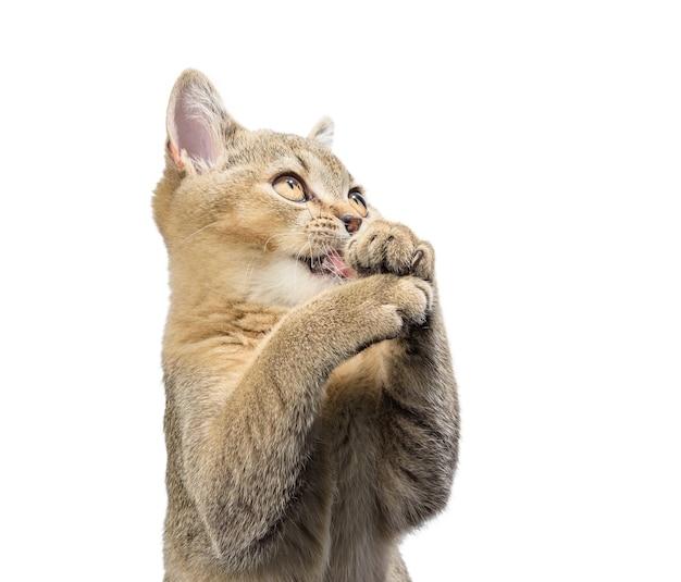 Котенок шотландской шиншиллы прямо сидит на белом фоне. кот смотрит вверх