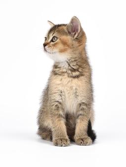 Котенок золотой тикированной шотландской шиншиллы прямо сидит на белом фоне. кошка смотрит