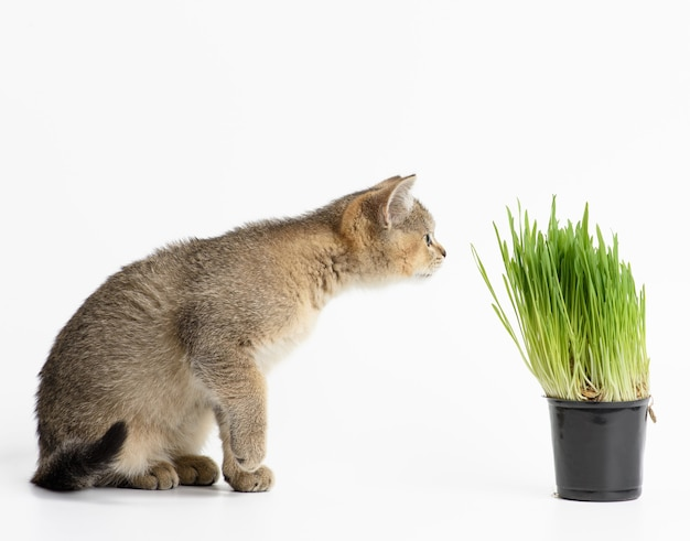 Kitten golden ticked scottish chinchilla straight sits on a white background, next to a pot of growing green grass