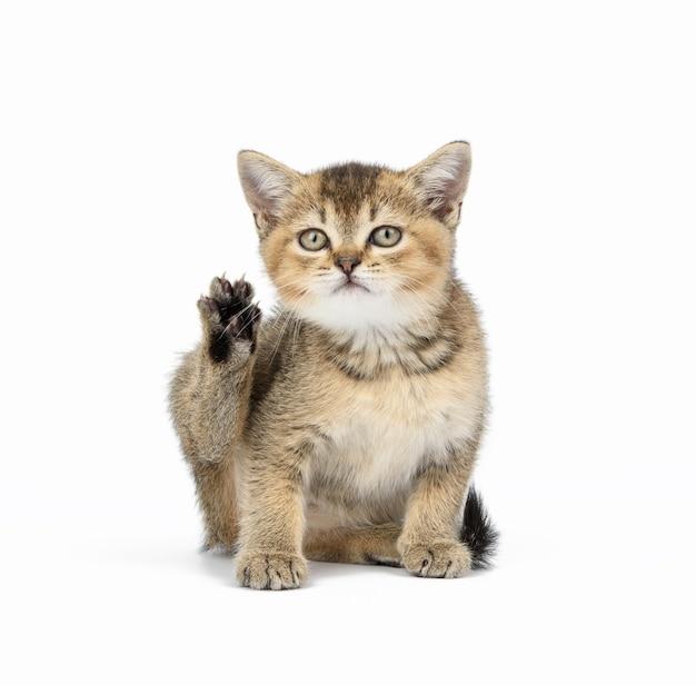 Kitten golden ticked scottish chinchilla straight sits on white
