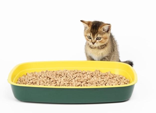 おがくずとプラスチック製トイレの隣にまっすぐ座っている子猫の金色のカチカチスコットランドのチンチラ