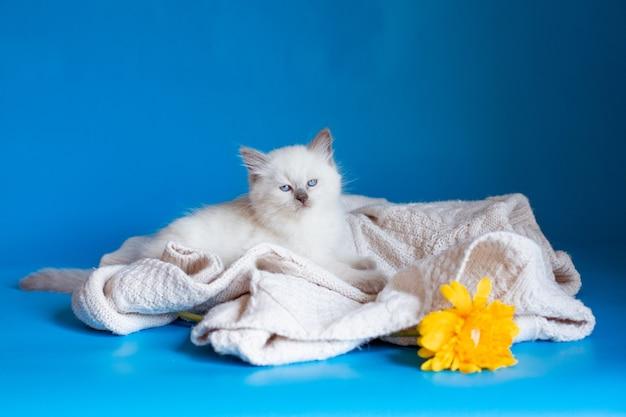 紫の背景にニット毛布の子猫