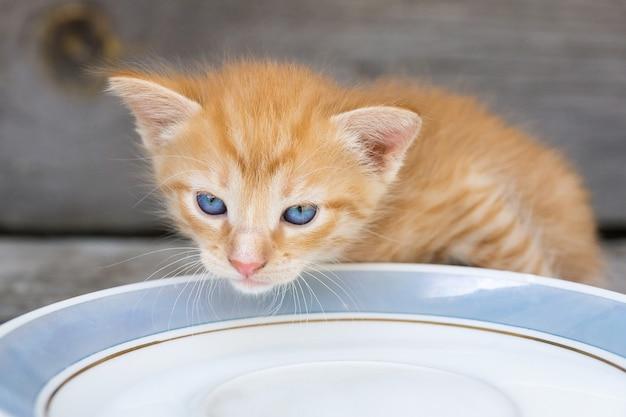 Kitten laps milk