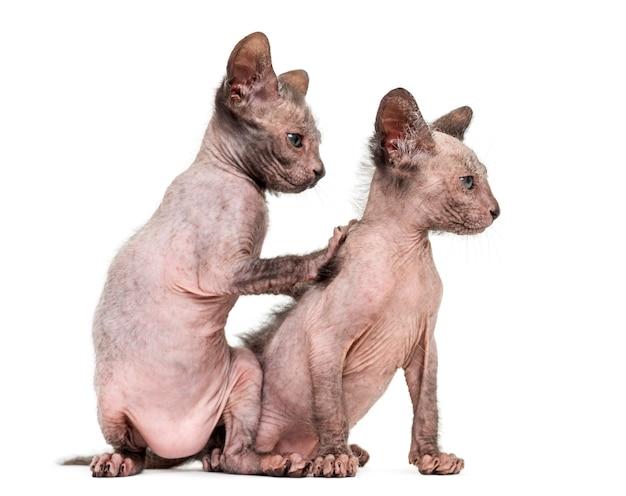 Kitten lykoi cat also called the werewolf cat against white background