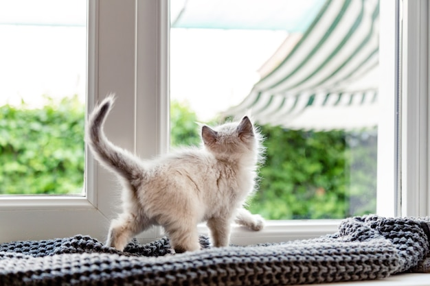 Kitten n window. small fluffy white kitten play on windowsill on plaid inside the house, looks through the window. domestic cat lonely lonesome laziness in house interior back view.