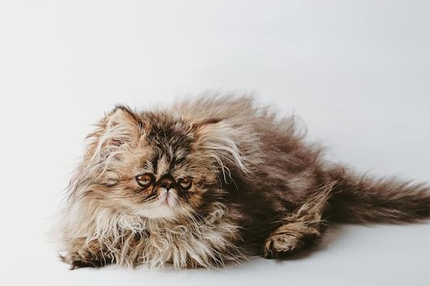 子猫ペルシャは茶色のベージュ色の小さなふわふわの子猫を繁殖させます