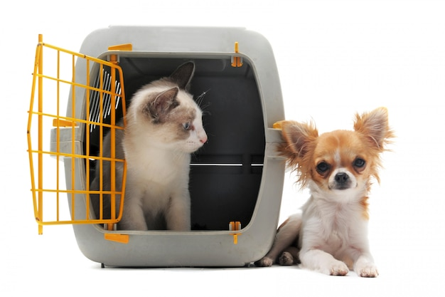 Kitten in pet carrier and chihuahua