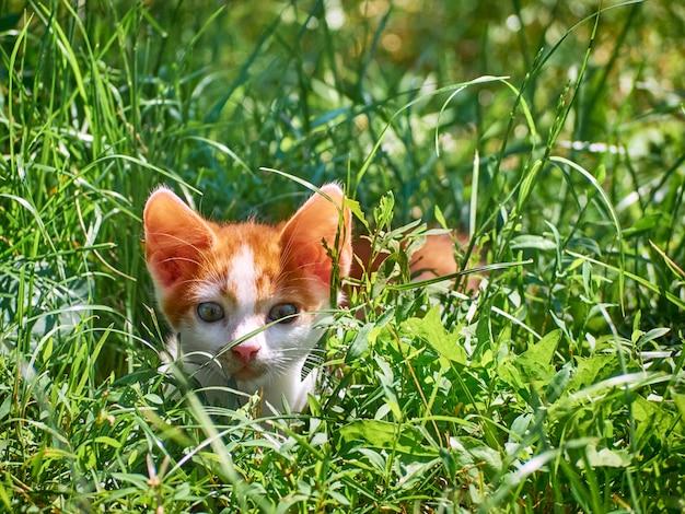 芝生で遊ぶ子猫。