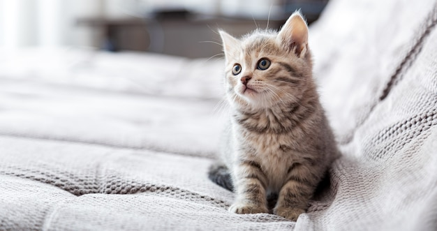 Портрет котенка. кошка сидит на сером диване, глядя в сторону копии пространства. отдых кошки расслабиться на кровати. домашнее животное сидит в удобном уютном доме. длинный веб-баннер с копией пространства.