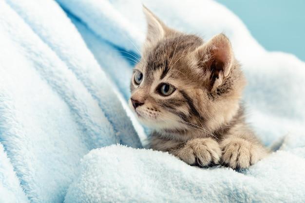 발이 있는 고양이 초상화. 파란색 격자 무늬의 귀여운 얼룩 고양이는 옆으로 보입니다. 신생아 새끼 고양이 아기 고양이 아이 국내 동물. 집 애완 동물. 아늑한 집 겨울. 확대.