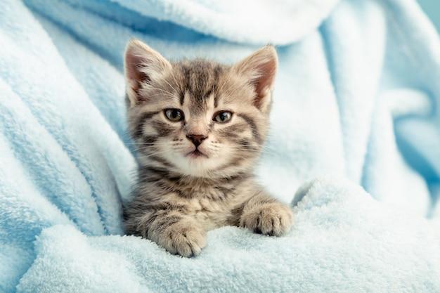 足と子猫の肖像画。青い格子縞のかわいいぶち子猫。生まれたばかりの子猫赤ちゃん猫子供の家畜。ホームペット。居心地の良い家の冬。