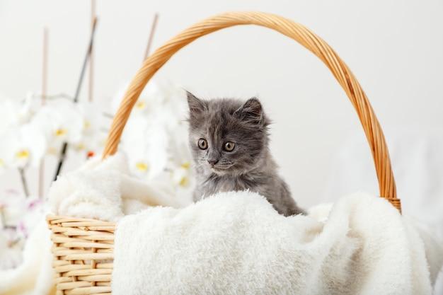 Котенок портрет. милый серый котенок сидит в корзине на белом пледе в подарок. новорожденный котенок