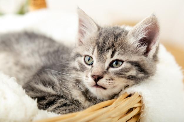새끼 고양이 초상화. 선물로 흰 격자 무늬의 고리버들 바구니에 앉아 있는 귀여운 회색 얼룩 고양이는 향기로운 흰 난초 꽃 냄새를 맡습니다. 신생아 새끼 고양이 아기 고양이 키드 가축