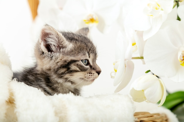 Kitten portrat. cute gray tabby kitten sitting in wicker basket on white plaid as gift smells the scent white orchid flowers. newborn kitten baby cat kid domestic animal. home pet. cozy home winter.